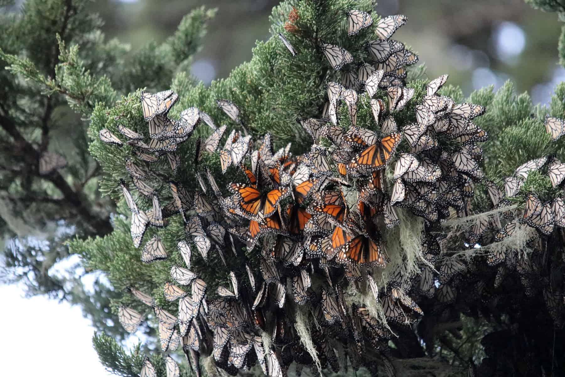 Schwärme von Monarchfaltern überwintern nahe Monterey, Kalifornien (Bild,: Joanna Gilkeson/USFWS).