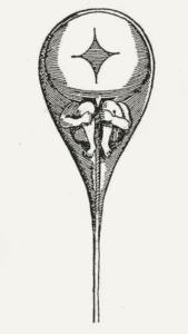 Präformationslehre: Das Menschlein (Homunculus) ist im Spermium bereits vorgeformt. Zeichnung von Nicolas Hartsoeker 1695